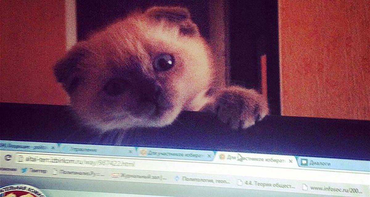 Disgruntled Siberian city longings pet cat for mayor