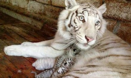 Endangered White Tiger Cub Freezes To Death At Zoo During Regional Blackout– Find Out What Happened Here