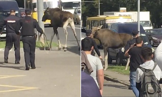 Oh deer! Stubborn elk generates mayhem on Moscow's roads as it handles to appear an authorities cordon and also wandering … – Daily Mail