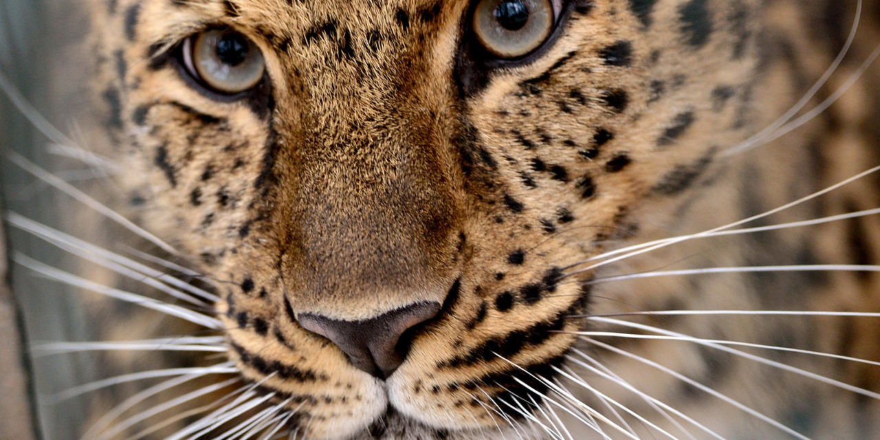 In Big Win For Big pet cat, China Approves National Park Larger Than Yellowstone