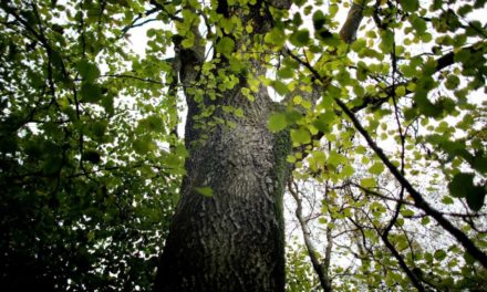 Ash tree collection for termination in Europe – BBC News