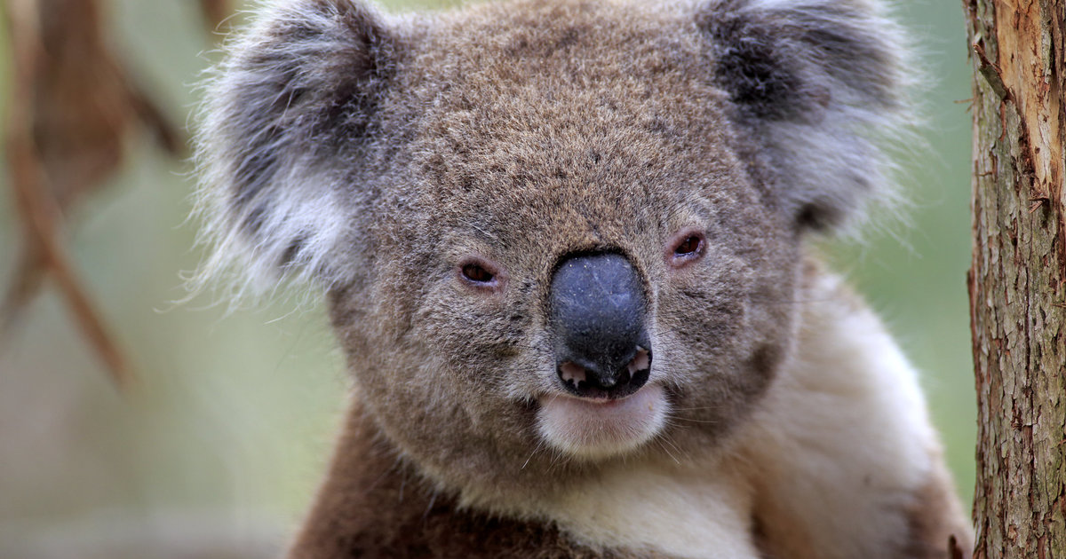 Australian Government Accused Of Being Obsessed With Hugging Koalas