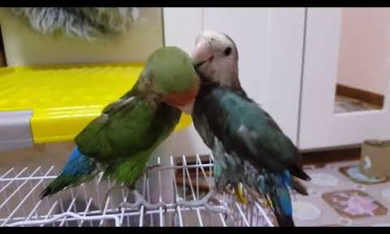 Love Bird – Putin & & Cuan Cuan after showering