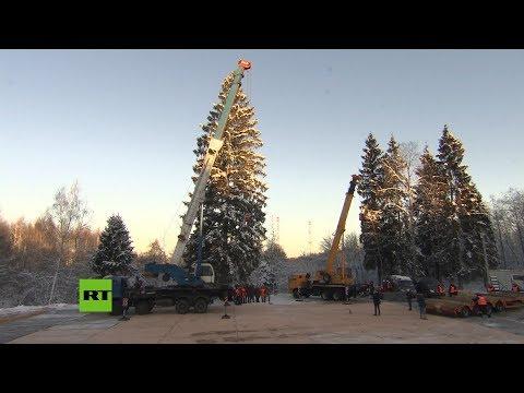 Talan el árbol de Navidad que instalarán en el Kremlin