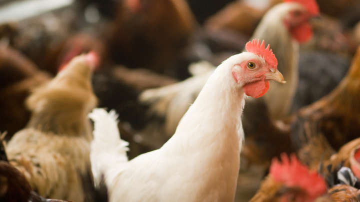 Antibiotic Resistance Concerns After Report Discovery World's Strongest Antibiotics Are Being Fed To Chickens