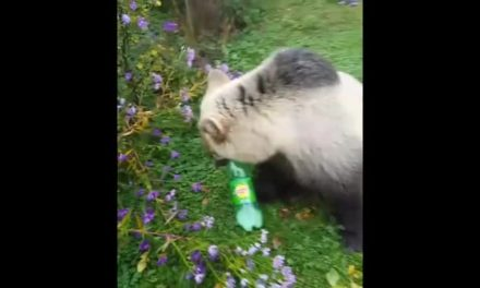 In Russia bear obtain high levels of caffeine zoomies